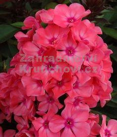 """Phlox paniculata """" Windsor """" - flox, plamenka Zahradnictví Krulichovi - zahradnictví, květinářství, trvalky, skalničky, bylinky a koření"""