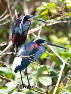 """The agami heron is arguably the Pantanal's most beautiful waterbird."" Pantanal Wildlife; www.bradtguides.com"