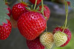 How to grow perfect strawberries. Growing your own crop of sweet, delicious strawberries couldn't be easier – just imagine nibbling away on succulent fruits, knowing they've come no further than the plants in your garden. Strawberry Plants, Fruit And Veg, Grow Your Own, Dobby, Horticulture, Strawberries, Make It Simple, Succulents, Vegetable Gardening