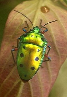 Jewel Bug, Calliphera Excellens
