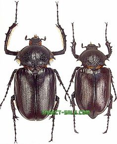 Insect-Sale.com - Propomacrus bimucronatus - Propomacrus-bimucronatus.jpg - insecto, insectos, mariposa, mariposas, bichos, escarabajos, polillas, insect, insects, butterfly, butterflies, bugs, beetles, moths, coleoptera, lepidoptera, entomology