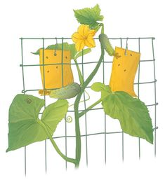 Snare cucumber beetles by hanging a couple of yellow sticky traps on your cucumber trellis. + other natural remedies for bugs in the garden