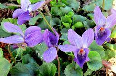 maarts viooltje (Viola odorata)   Flickr - Photo Sharing!