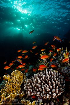 Red Sea IV by Kim Yusuf on 500 px     A school of pseudanthias shot during sunset. Marsa Alam, Eypt.