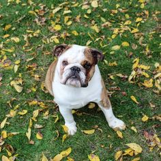 English Bulldog Playing in the leaves