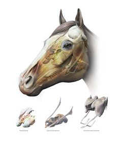 Equine Upper Respiratory Anatomy | GNSI