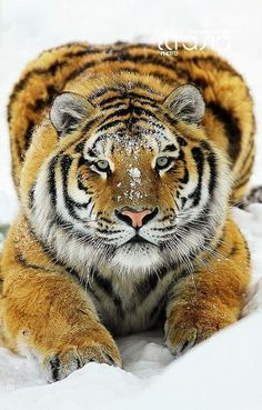 Twitter, Amazing Tiger pic.twitter.com/JePb4LHawy