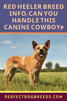 Red Heeler is also known as an Australian Cattle Dog. Perfect Dog Breeds says this breed is a mix from Smithfield Collies and Dingoes, as well as some other breeds like the Scottish Highland Collie. This is an outdoor puppy that needs a lot of exercise. PDB's guide on this breed covers everything you want to know about this canine to see if this dog will be a good match for you and your family's lifestyle. Download here… #redheelerguide #australiancattledogguide #reheelermix Large Dog Breeds, Large Dogs, Most Popular Dog Breeds, Australian Cattle Dog, Scottish Highlands, Dog Care, Collie, Puppies, Red