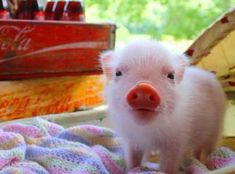 Enjoy this piglet! Good night!