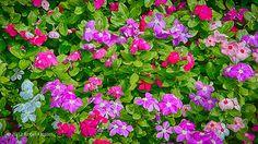 colorful mini petunias