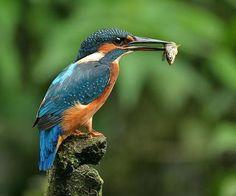 Martín pescador - Pájaros argentinos.