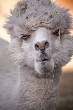 Alpaca. Ok, this has to be the awesomest animal ever!! He has such human-like expressions!