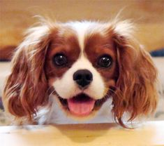Blenheim Cavalier King Charles Spaniel IF YOU'RE LOOKING FOR A PET, GET ONE OF THESE GUYS. BEST DOG EVER!!!