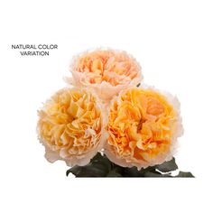 Golden Yellow Apricot Garden Rose - Beatrice