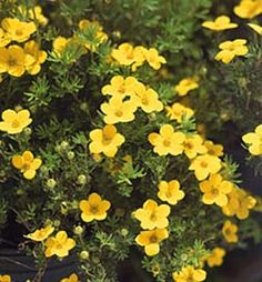 409 best gardening images on pinterest in 2018 garden plants potentilla gold drop cinquefoil is a low growing shrub that provides summer long color its single rose like buttercup yellow flowers bloom from early mightylinksfo