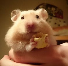 adorable hamster eating a pop corn