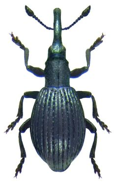 Size: mm mm) Origin: Europe Ecology: lives on Leguminosae Location: Britain, Newbury leg. Bugs And Insects, History Photos, Natural History, Ecology, Ancestry Records, Club, Beetles, Britain, Size 2
