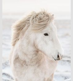 Icelandic pony ... they're so beautiful
