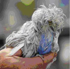 Mutant Parakeet - Steve Saunders Goldwing Forums