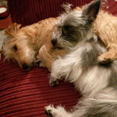 The pups snuggled on the sofa