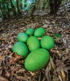 National Geographic | Photograph by Christian Ziegler - Cassowary eggs are several times larger than chicken eggs. The male sits on them for more than 40 days.