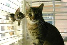 Kitten hanging out blinds in front of mamacat