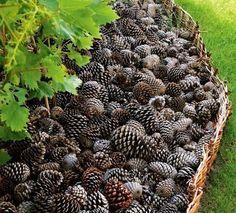 Idées récup pour le jardin : Avec des pommes de pin, faites un paillis pour vos parterres..  100 % récup et 100 % naturel, ce paillis en pommes de pin gardera l'humidité de vos plantes et évitera la pouce des mauvaises herbes.
