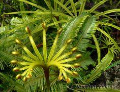 Matonia fern (Malaysia)