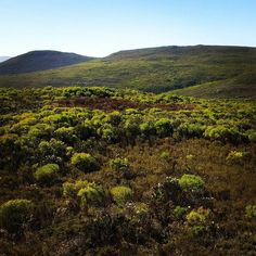 A citizen reported this pocket of dying #fynbos. What is causing this localized area to die when everything around it is healthy? Should we be concerned or is it something natural? You too can help protect nature by reporting the dying plants you come across.  http://ift.tt/2pgogD9