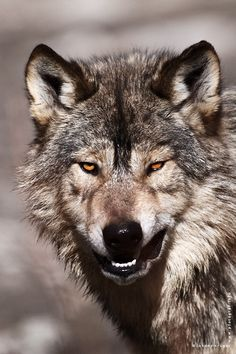 """Lobo gris - Grey Wolf *-*-*-* the selection of """" Le Journal de Veg """" *-*-*-* -------------* Animaux *------------- Wolf Images, Wolf Photos, Wolf Pictures, Nature Photos, View Photos, Wild Animals Photography, Wolf Photography, Wildlife Photography, Wolf Spirit"""