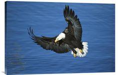 Bald Eagle Flying Over Water, Kenai Peninsula, Alaska