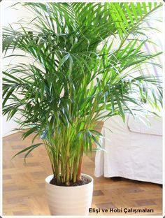 Bamboo palm is great air purified plant to filter oxygen at night when keeping it in the bedroom Best Indoor Plants For Bedroom Air Quality And Restful Sleep bedroom plants low light. bedroom plants oxygen at night. cool plants for bedroom. Potted Palms, Indoor Palms, Best Indoor Plants, Indoor Palm Trees, Plants For Home, Potted Palm Trees, Indoor Shade Plants, Best Plants For Shade, Palm Tree Plant