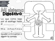 Recently shared sistema digestivo ideas & sistema digestivo pictures Science Lessons, Science For Kids, Science And Nature, Elementary Spanish, Elementary Schools, Human Body Crafts, Flashcards For Kids, Bilingual Classroom, School Decorations