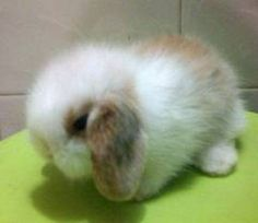 Dwarf Lop Bunnies for Sale | Photos for photo3 DWARF LOP BABY RABBITS FOR SALE