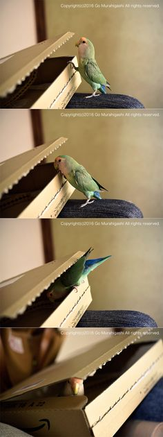 This bird's coloring is as close as I could find to my beloved Lucy. She was always climbing into things! <3