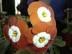 Show self Auricula Any other colour WHISTLEJACKET
