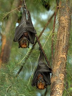 The Island Flying Fox and a friend just hangin' out ...