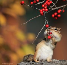 mmmm, get all the berries...  photo by barb d'arpino