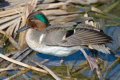 Green-winged teal - Wikipedia, the free encyclopedia