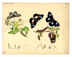 'Acraea andromacha andromacha', 'Hypolimnas bolina nerina', Original watercolour by Helena Scott Moth Caterpillar, Hawk Moth, Largest Butterfly, Beautiful Butterflies, Book Art, Insects, Bee, The Originals, Illustration