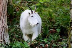 Pacific Northwest mountain goat