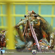 Here's an awesome close up from a #mainefoodietours guest @v_lacroix of a #lobster at #harborfish in #Portland #Maine