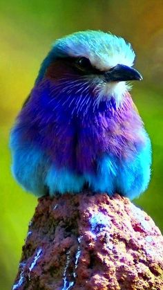 Lilac Fronted Roller photo by Yampimon What a beauty!! Psalm 139:14 I praise you because I am fearfully and wonderfully made; your works are wonderfu❤l, I know that full well.