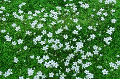 Instead of grass for the lawn, this flowering ground cover doesn't have to be mowed: Arenaria balearica Corsican Sandwort Garden Paths, Lawn And Garden, Garden Landscaping, Garden Bulbs, Shade Garden, Outdoor Plants, Outdoor Gardens, My Secret Garden, Plantation