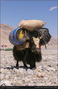 Yak in Tibet, carrying a yurt and a load of yoghurt.  Yuk yuk yuk!