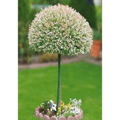 Salix integra. Standort: Sonne-Halbschatten Wuchshöhe: ca. 120 cm (Krone) Blütezeit: April Stämmchen mit rosa-weißgrünlichem Laub und gelben Blüten. Sehr rasch wachsend, starker Rückschnitt empfehlenswert. Auch als Kübelpflanze geeignet. Sehr winterhart. Erhältlich in den folgenden Varianten: 1 Pflanze, Lieferhöhe 40 cm, im 3-l-Container 1 Pflanze, als Stämmchen, 60 cm im, 3-l-Container