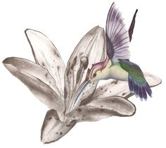 Hummingbird Tattoo Designs For Women | Hummingbird Tattoos Designs- High Quality Photos and Flash Designs of ...
