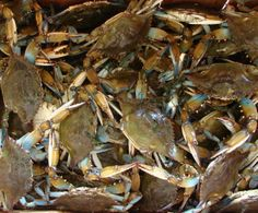 Louisiana Blue Crabs In Lake Pontchartrain