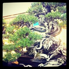 First Prize Bonsai - (Photo from the Instacanvas gallery of itok_del_mundo.)
