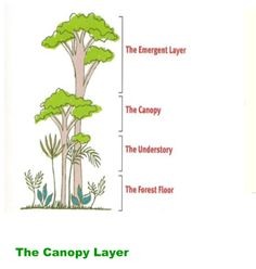Rainforest Animals-Canopy Layer